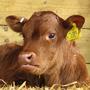 Donate / Sponsor a Cow