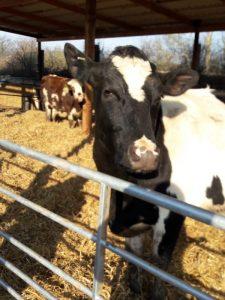 rutland-ahimsa-cows-barn-2