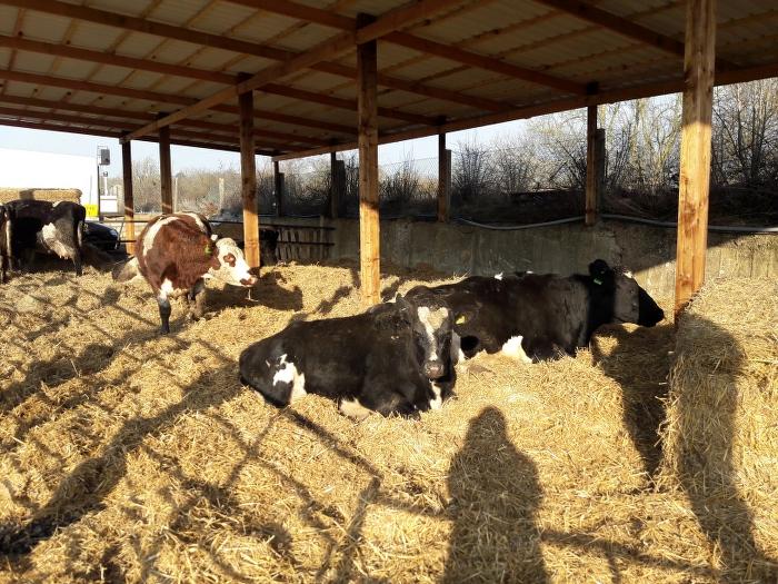 rutland-ahimsa-cows-barn-3