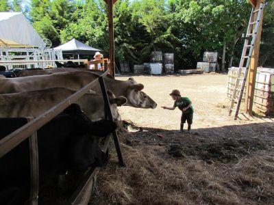 ahimsa-open-day-june-2018-feeding-cows-orgainc-carrots